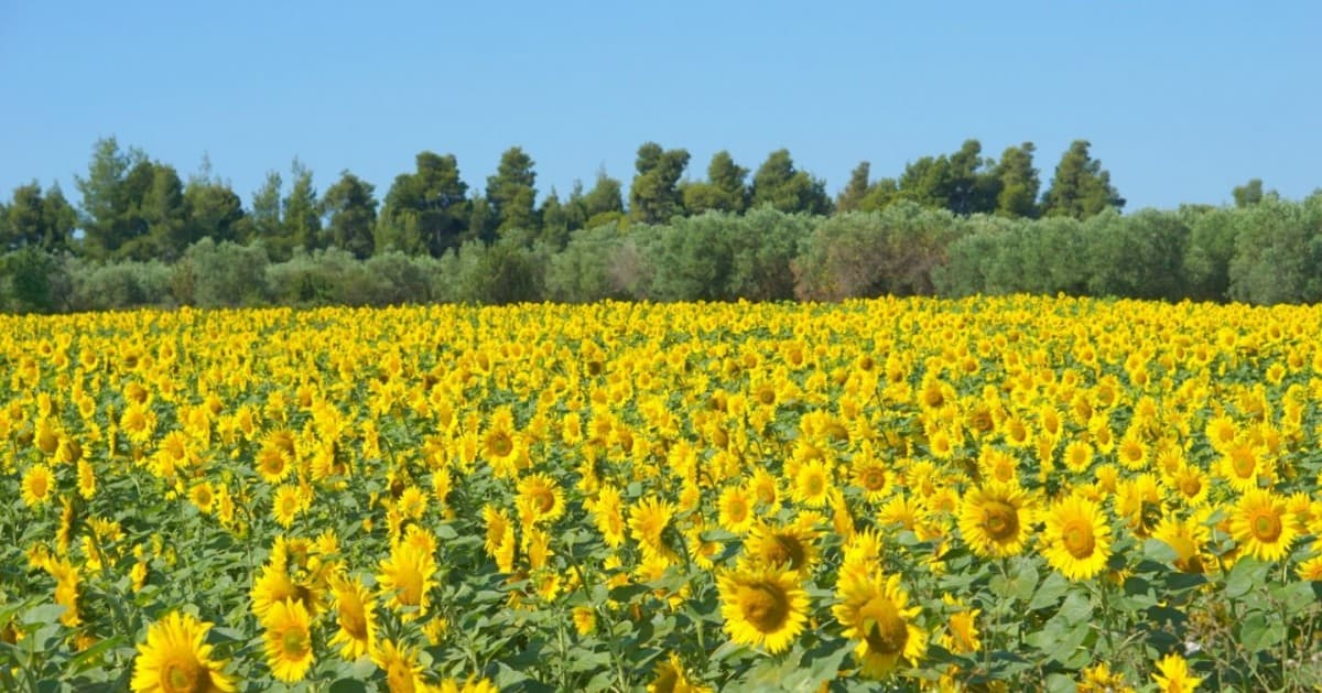 Sunflower-field-in-Halkidiki cruise and stay Greek Holiday
